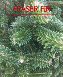 Fraser Fir.jpg
