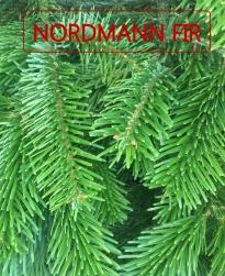 Nordmann Fir.jpg